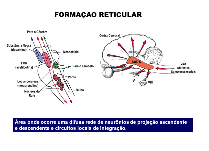 Sistema ativador reticular ascendente – SARA
